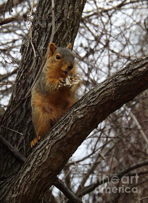 Fox Squirrel 1 Print by Sara  Raber