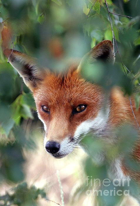 Fox Through Trees Print by Tim Gainey