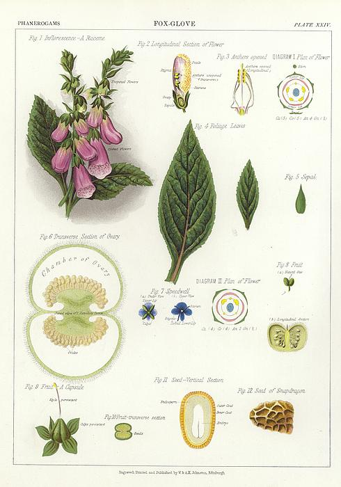 Foxglove Print by English School