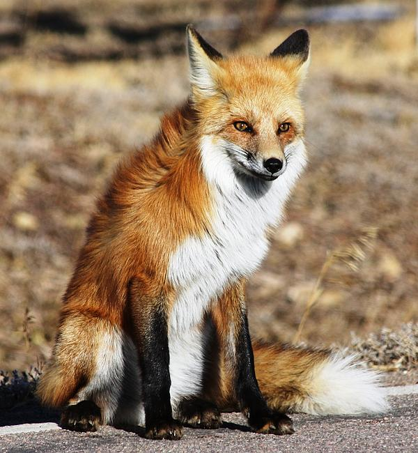 Shane Bechler - Foxy