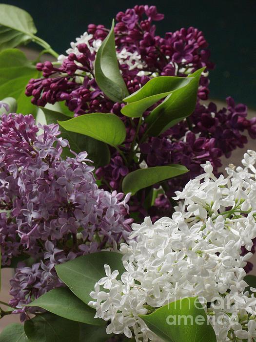 Andrew Govan Dantzler - Fremont Lilacs