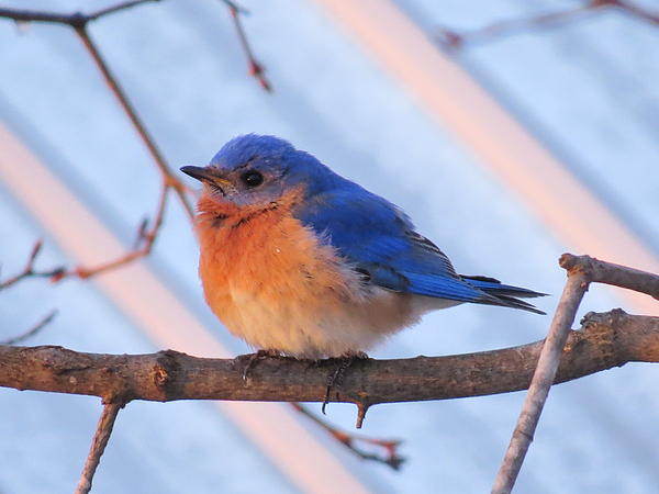 Friendly Bluebird Print by David Lankton