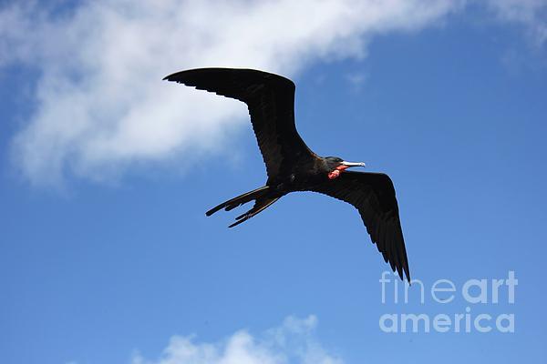 Frigate Bird In Flight Print by Sophie Vigneault