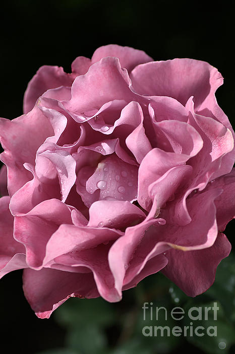 Frilly Rose Print by Joy Watson