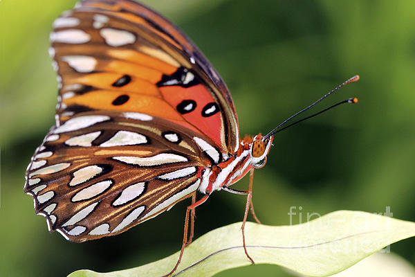 Fritillary Butterfly Print by Pamela Gail Torres