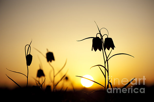 Fritillary Flower Sunset Print by Tim Gainey