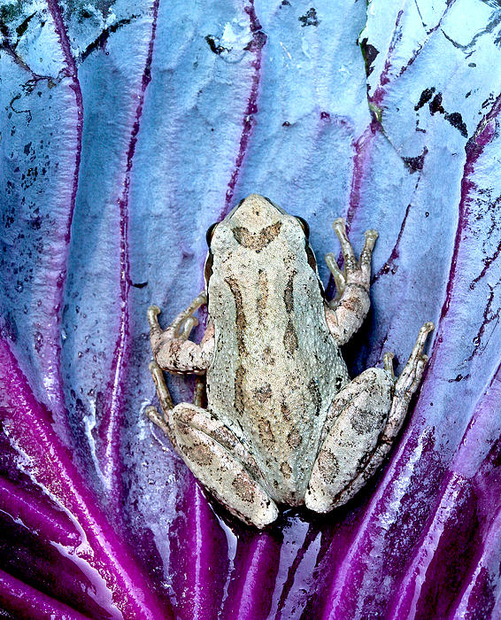 Frog On Cabbage Print by Jean Noren