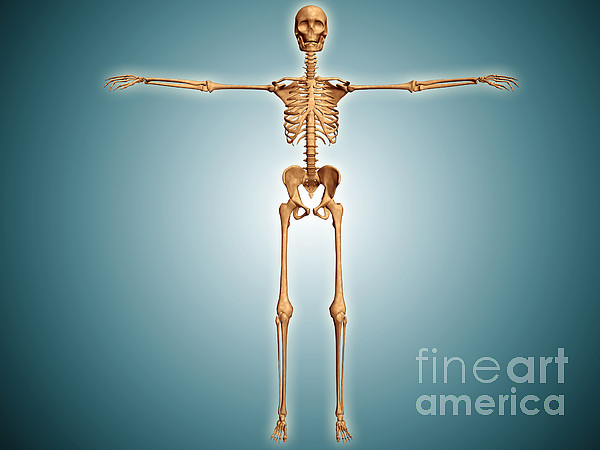 Front View Of Human Skeletal System Print by Stocktrek Images