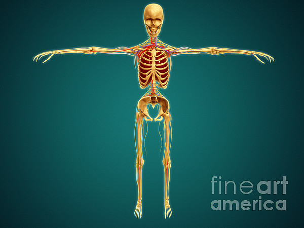 Front View Of Human Skeleton Print by Stocktrek Images