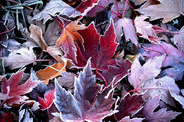 Karen  Majkrzak - Frosted Autumn Leaves