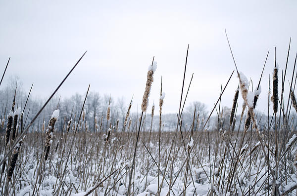 Jim Shackett - Frosty Cattails
