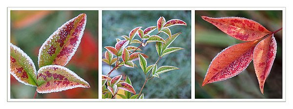 Frosty Leaves Print by Gill Billington