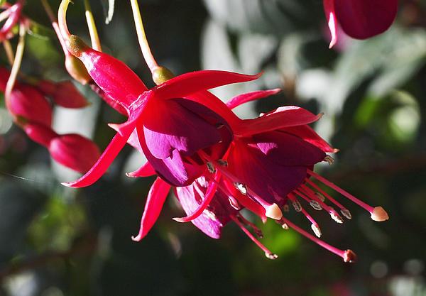 Rona Black - Fuchsia