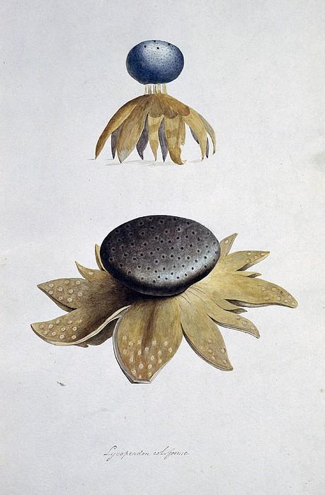 Fungus (lycoperdon Coliforme) Print by Science Photo Library