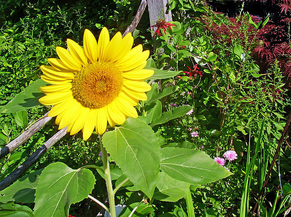 Garden Sunflower Print by Aimee L Maher Photography and Art