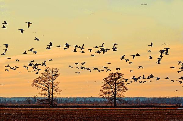 Geese In Flight I Print by Debbie Portwood