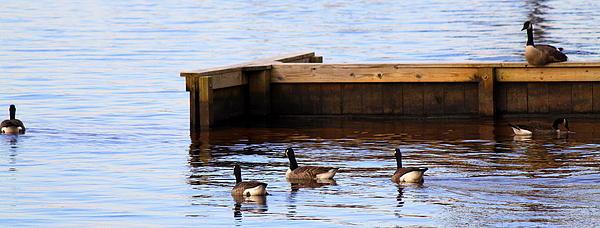 Geese Swimming Print by Carolyn Ricks