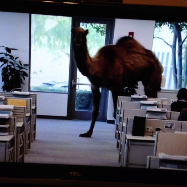 Geico Camel Hump Day Woot Woot Geico Camel Humpday Woot