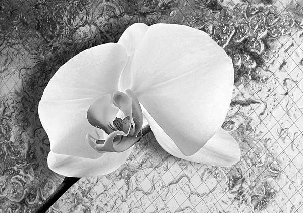 Gentle White Orchid Print by Ron Regalado