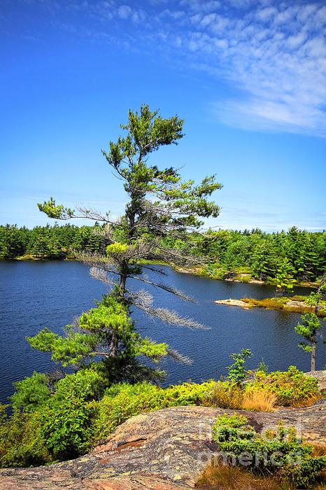 Georgian Bay Pine Tree Print by Charline Xia