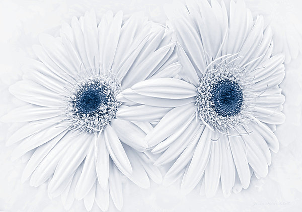 Jennie Marie Schell - Gerber Daisy Flowers in Blue