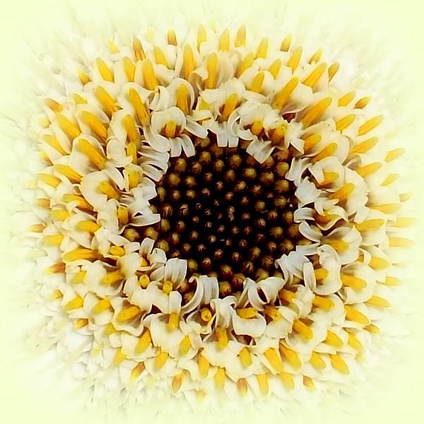 Gerbera Closeup Print by The Creative Minds Art and Photography