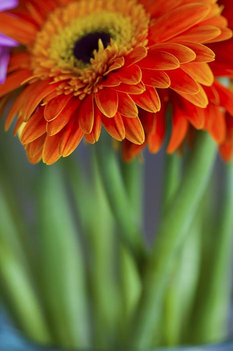 Zoe Ferrie - Gerbera Daisies in a Vase