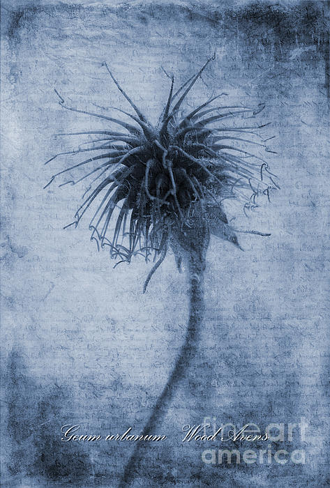 Geum Urbanum Cyanotype Print by John Edwards