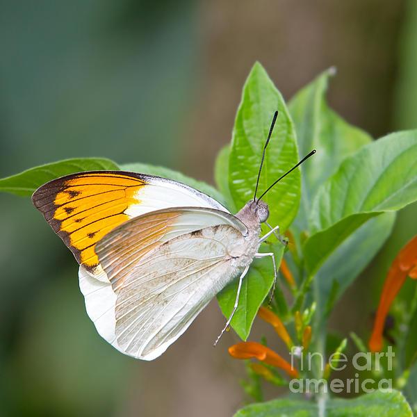 Giant Orange Tip Butterfly Print by Jane Rix