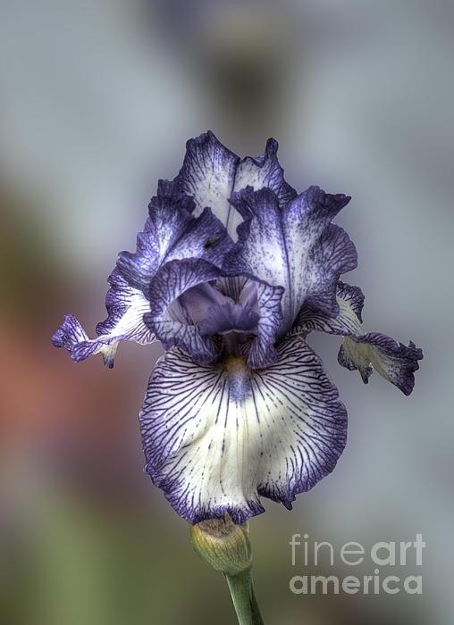 Giant Purple Iris Print by Deborah Smolinske
