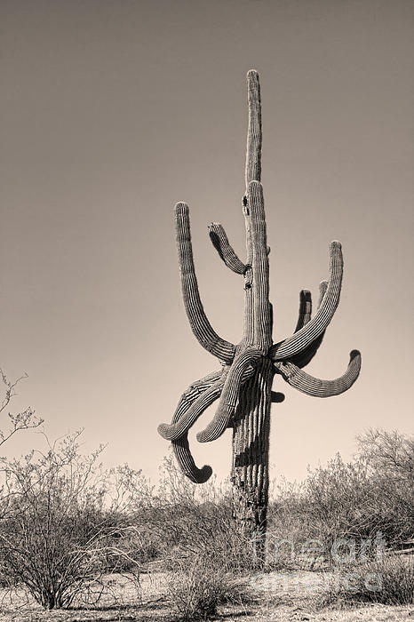Giant Saguaro Cactus Sepia Image Print by James BO  Insogna