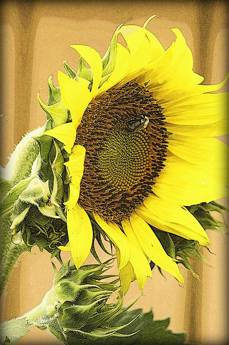 Kay Novy - Giant Sunflower With Buds