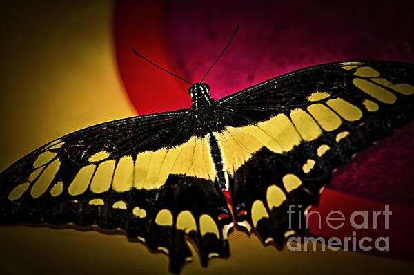 Giant Swallowtail Butterfly Print by Elena Elisseeva