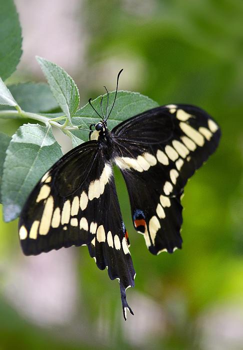 Giant Swallowtail Butterfly Print by Saija  Lehtonen