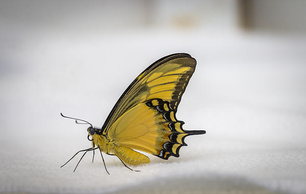 Calazones Flics - Giant Swallowtail