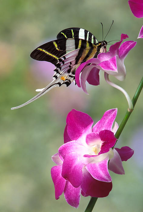 Giant Swordtail Butterfly Graphium Androcles On Orchid Print by Robert Jensen