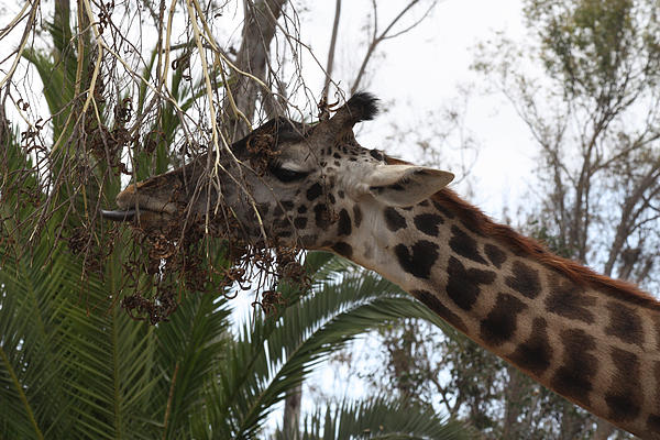 John Telfer - Giraffe Feeding