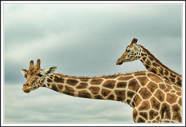 Geraldine Scull ART - Giraffes  3