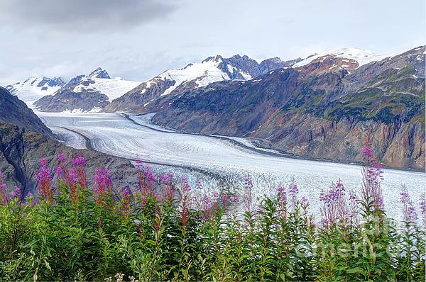 Stanza Widen - Glacier With Fireweeds