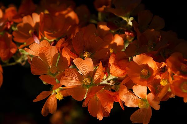 Globe-mallow Blooms  Print by Saija  Lehtonen