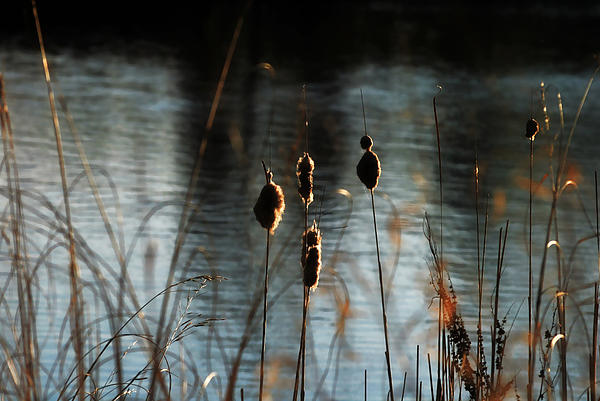 Glowing Cattails Print by Dorothy Pinder