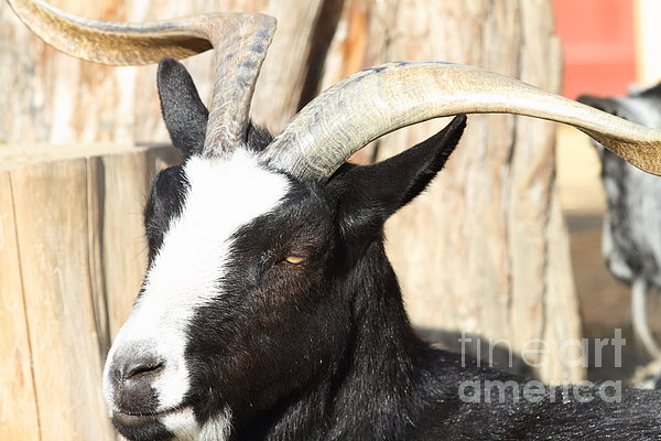 Goat 7d27396 Print by Wingsdomain Art and Photography