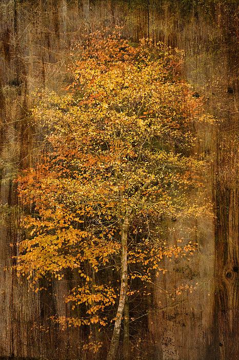 Golden Birch Print by Liz  Alderdice