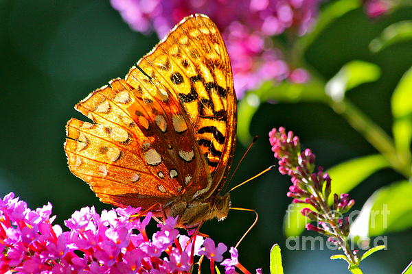 Golden Butterfly Print by Jay Nodianos