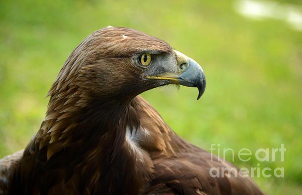 RicardMN Photography - Golden Eagle