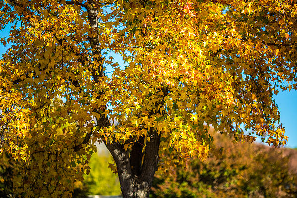 Golden Leaves Of Autumn Print by Mike Lee