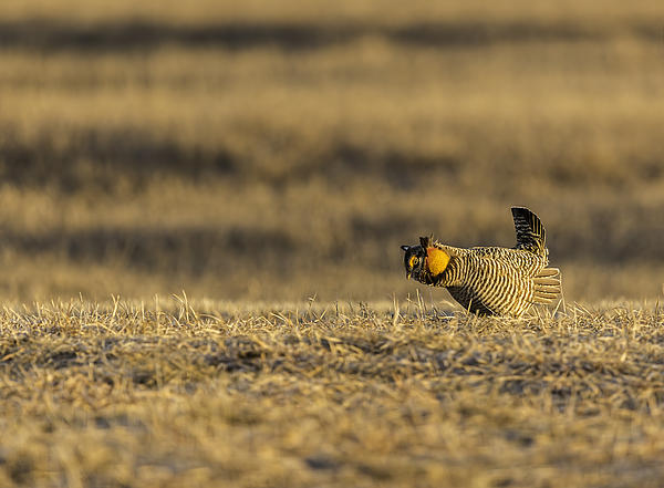 Golden Light On The Prairie Print by Thomas Young