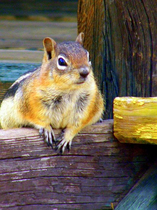 Antonia Citrino - Golden Mantled Ground Squirrel