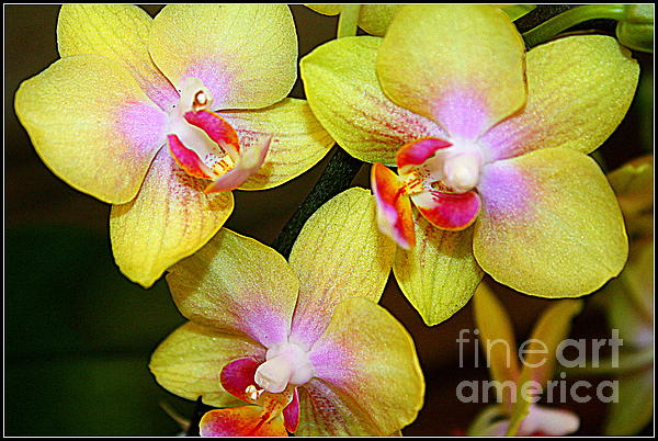 Golden Orchids Print by Photographic Art and Design by Dora Sofia Caputo