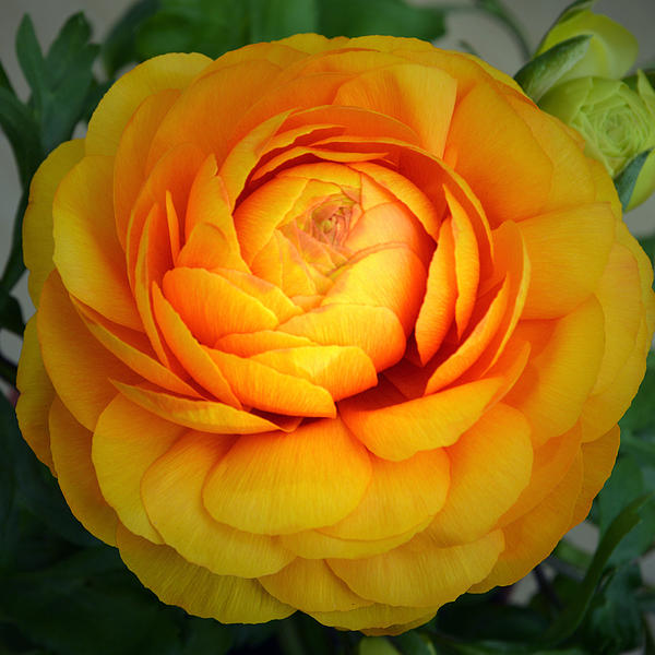 Golden Ranunculus. Print by Terence Davis
